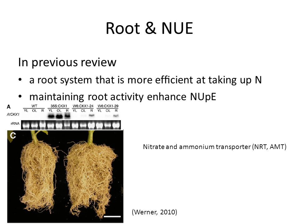 Root & NUE In previous review