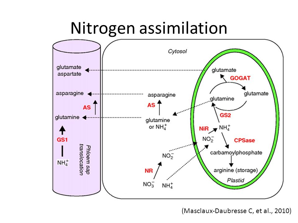 Nitrogen assimilation