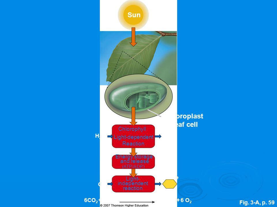 Sun Chloroplast in leaf cell Chlorophyll H2O Light-dependent Reaction