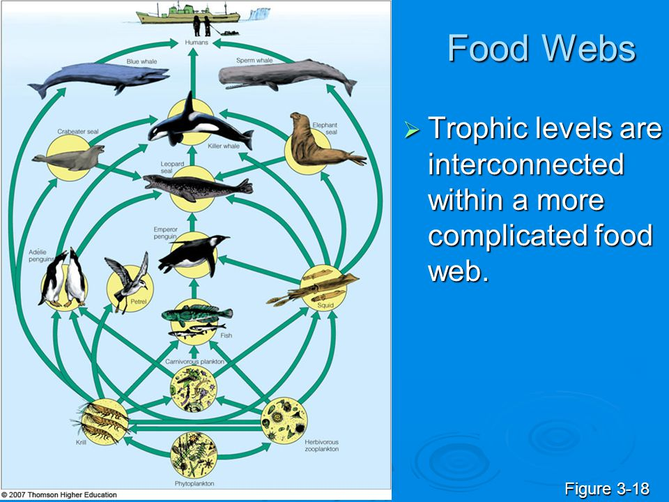 Food Webs Trophic levels are interconnected within a more complicated food web. Figure 3-18