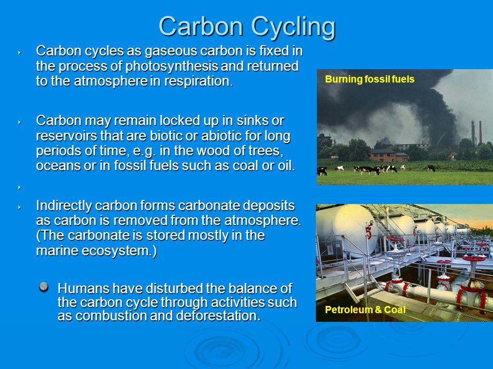 Carbon Cycling Carbon cycles as gaseous carbon is fixed in the process of photosynthesis and returned to the atmosphere in respiration.