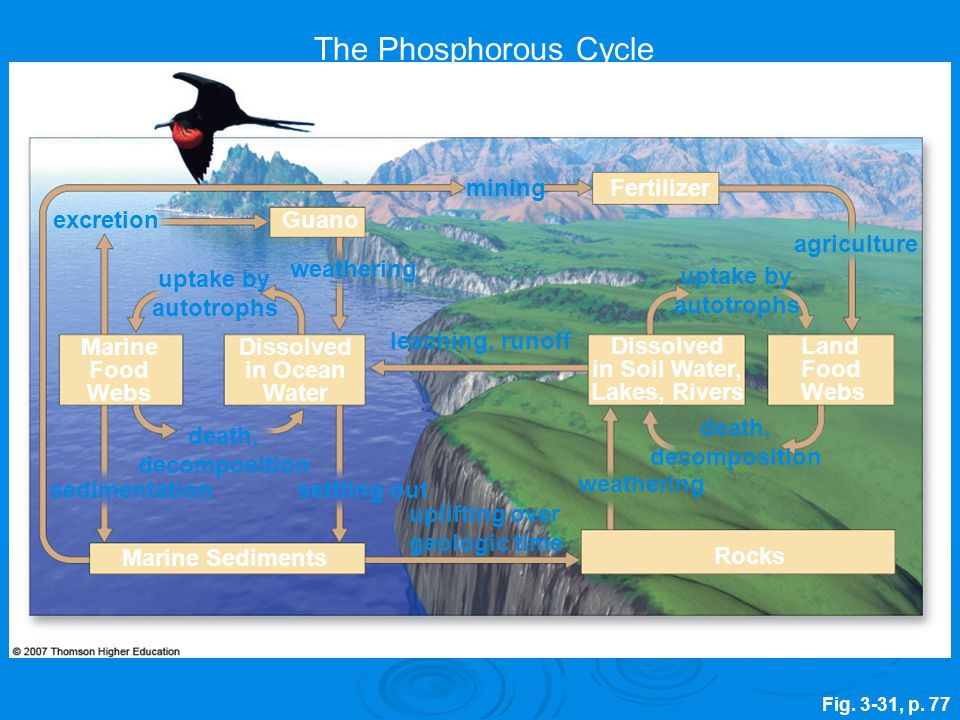 The Phosphorous Cycle mining Fertilizer excretion Guano agriculture
