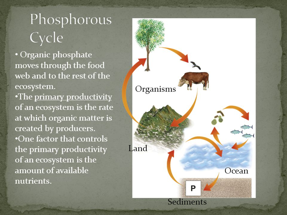Phosphorous Cycle Organic phosphate moves through the food web and to the rest of the ecosystem.