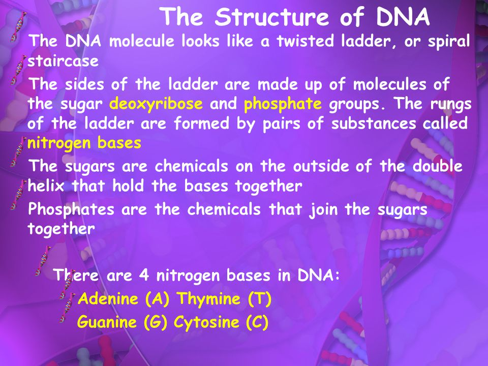 The Structure of DNA The DNA molecule looks like a twisted ladder, or spiral staircase.