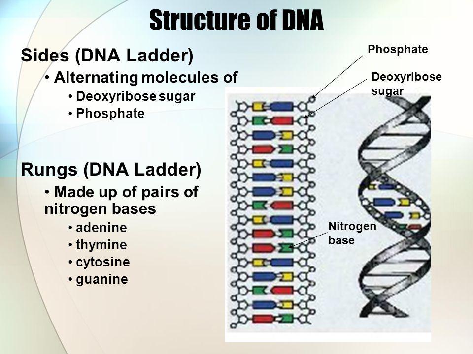 Structure of DNA Sides (DNA Ladder) Rungs (DNA Ladder)