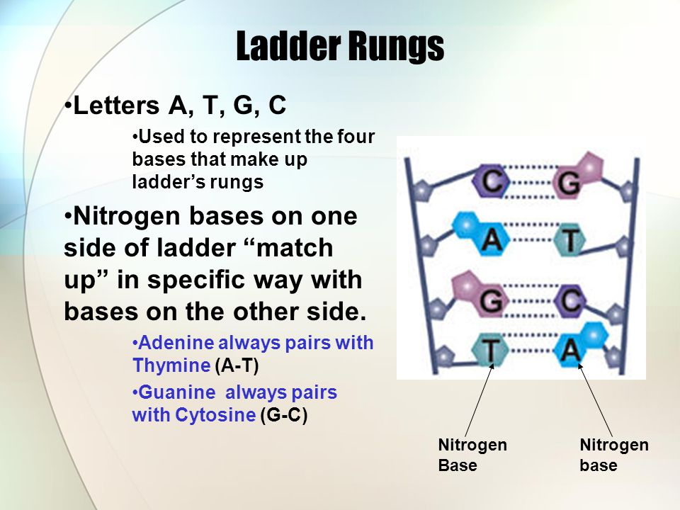 Ladder Rungs Letters A, T, G, C