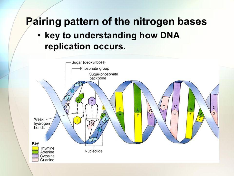 Pairing pattern of the nitrogen bases