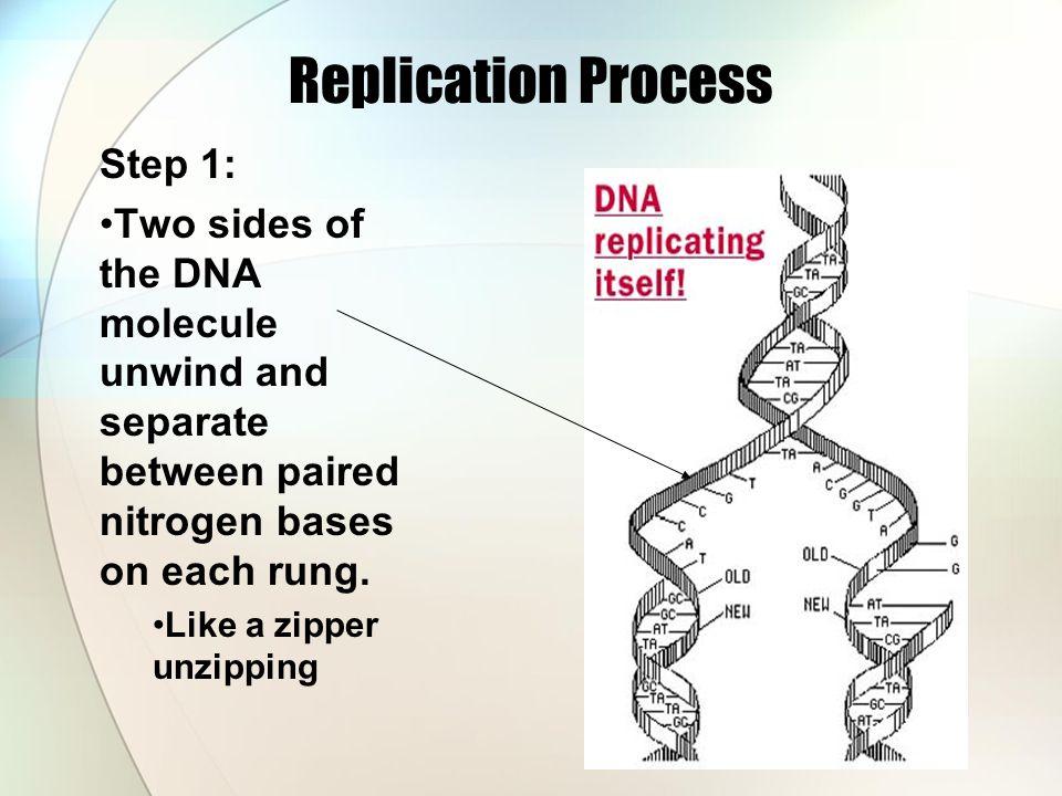 Replication Process Step 1: