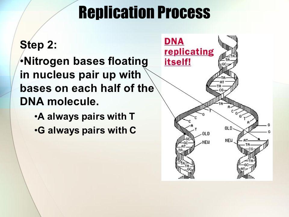 Replication Process Step 2: