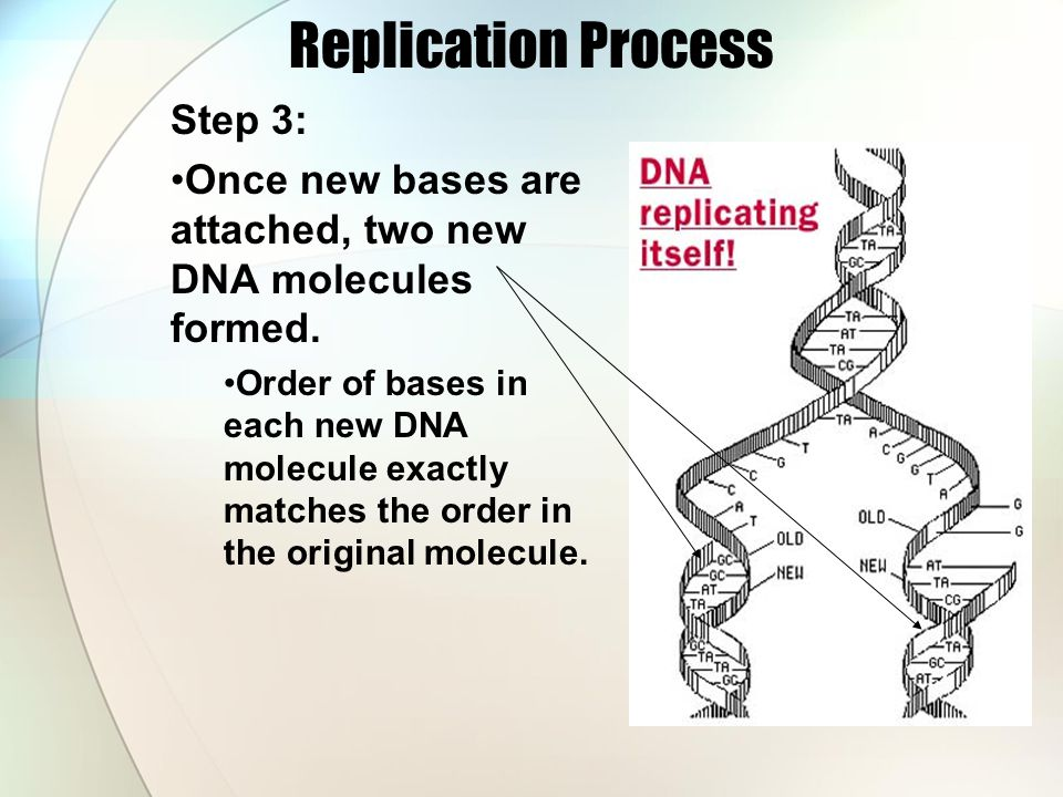 Replication Process Step 3: