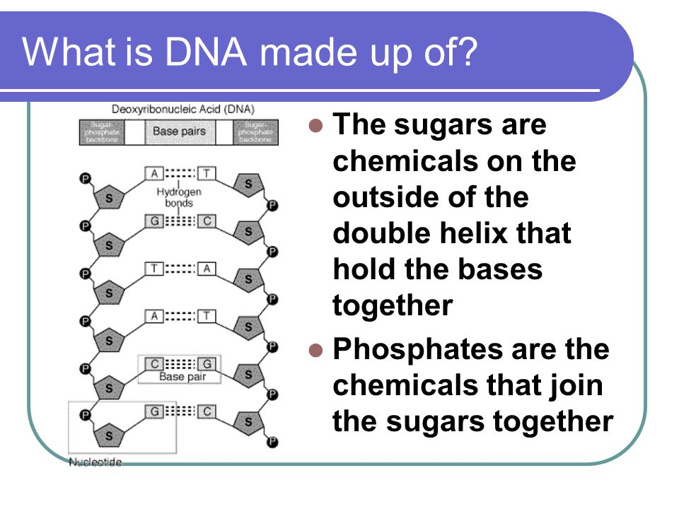 What is DNA made up of The sugars are chemicals on the outside of the double helix that hold the bases together.