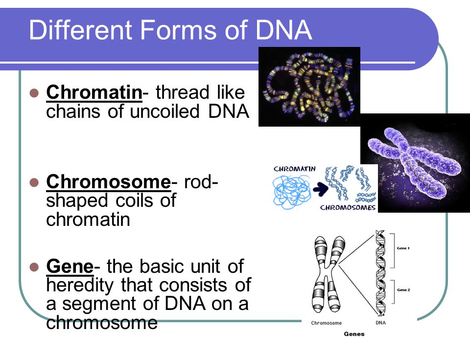 Different Forms of DNA Chromatin- thread like chains of uncoiled DNA