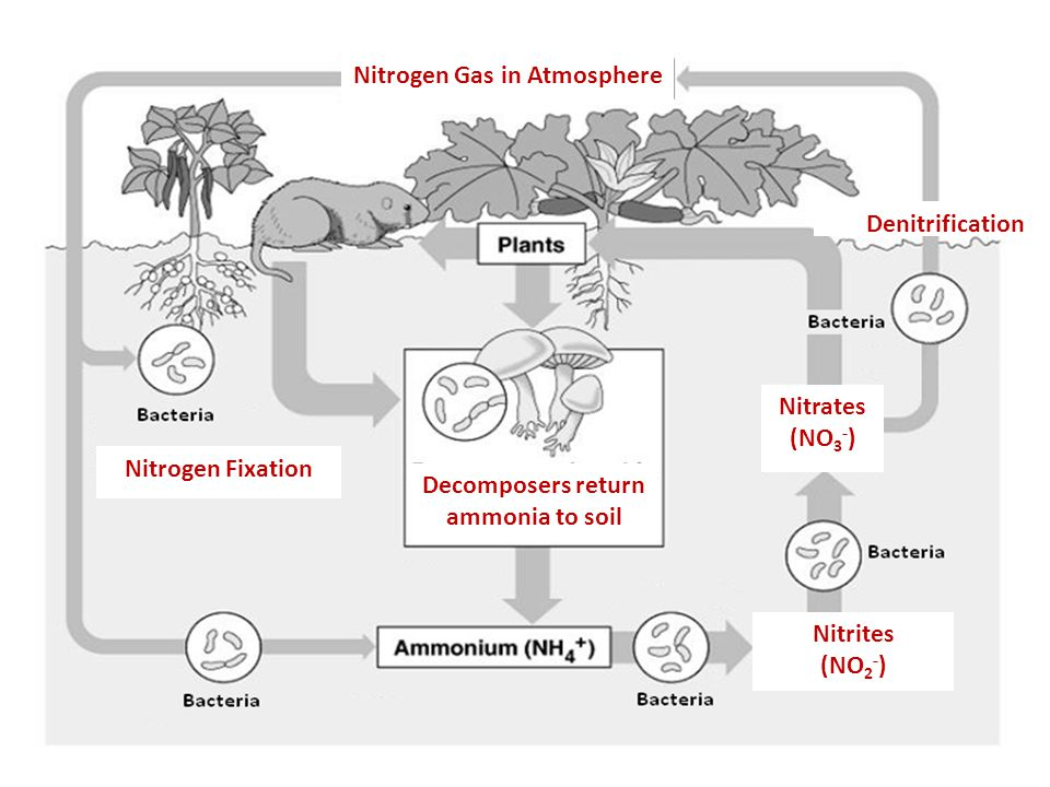 Nitrogen Gas in Atmosphere Decomposers return ammonia to soil