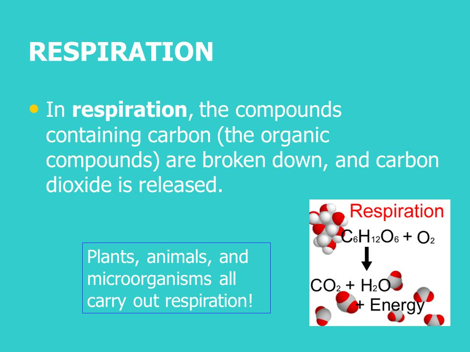 RESPIRATION In respiration, the compounds containing carbon (the organic compounds) are broken down, and carbon dioxide is released.