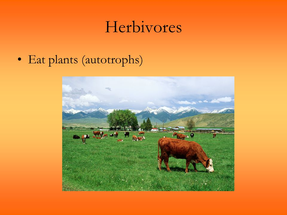 Herbivores Eat plants (autotrophs)
