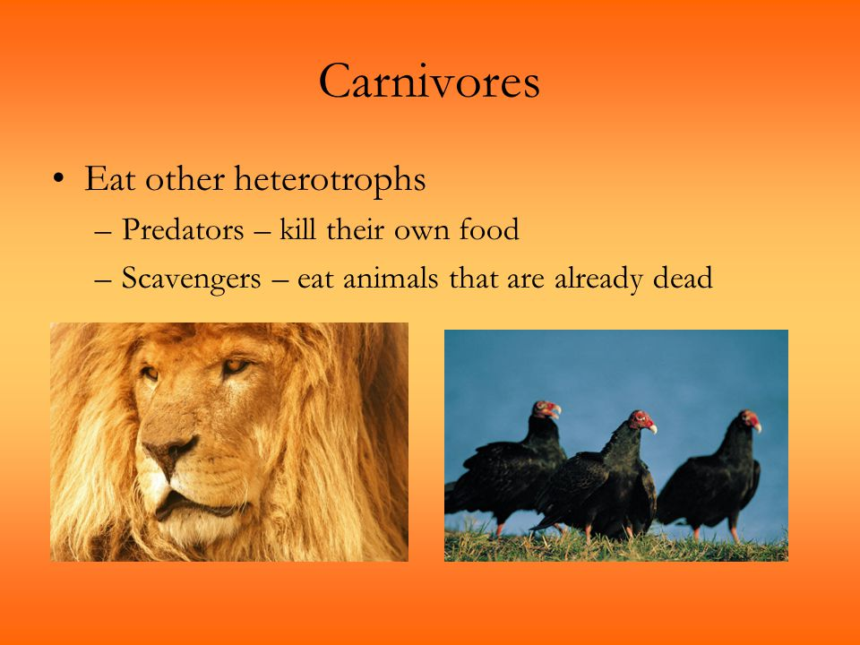Carnivores Eat other heterotrophs Predators – kill their own food