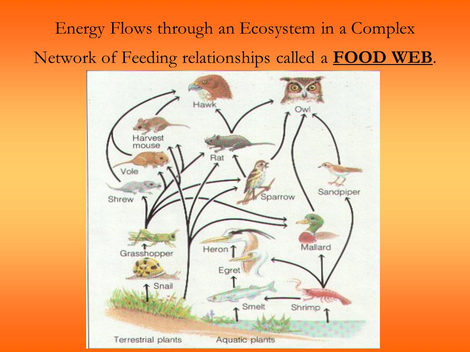 Energy Flows through an Ecosystem in a Complex Network of Feeding relationships called a FOOD WEB.