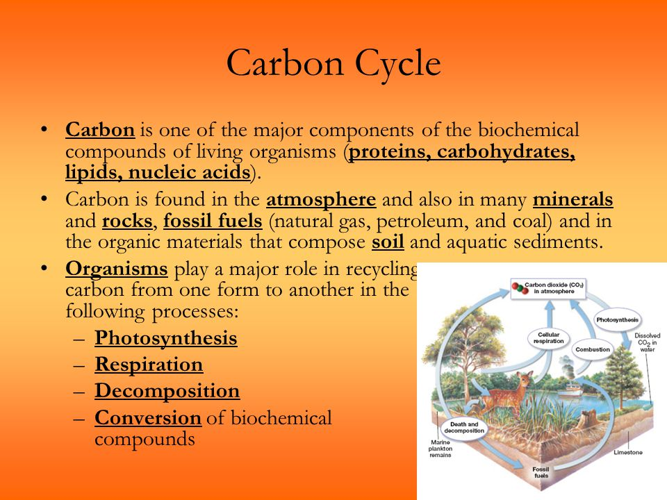 Carbon Cycle Carbon is one of the major components of the biochemical compounds of living organisms (proteins, carbohydrates, lipids, nucleic acids).