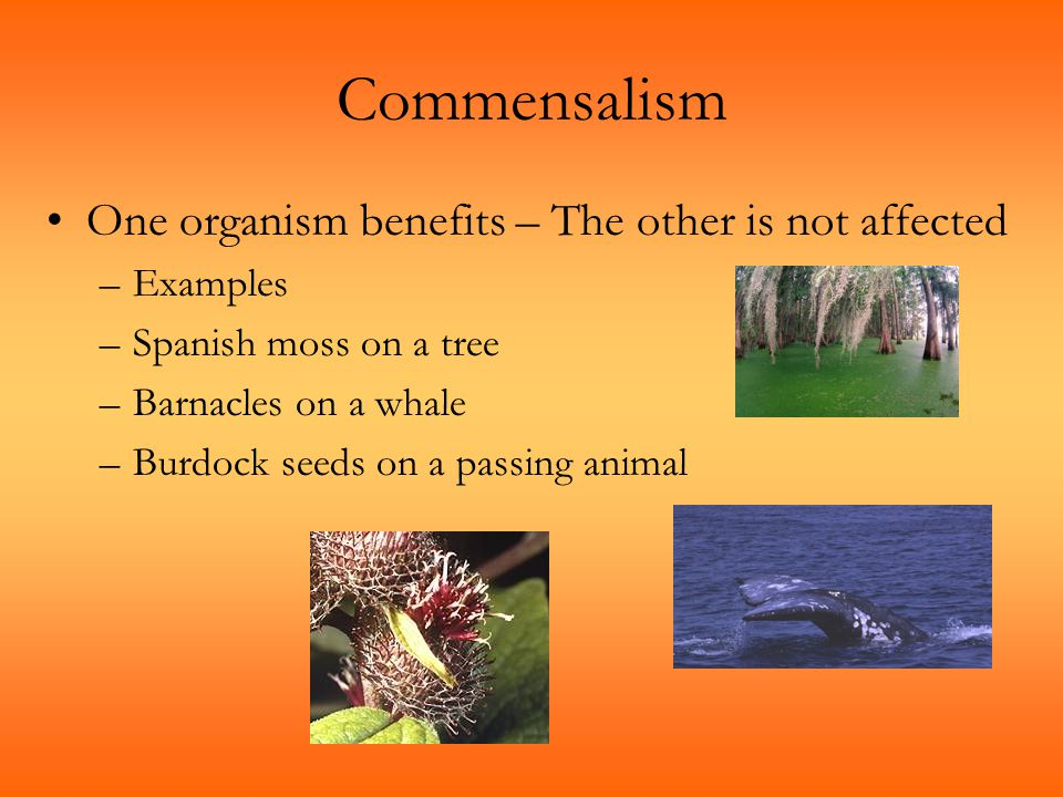 Commensalism One organism benefits – The other is not affected