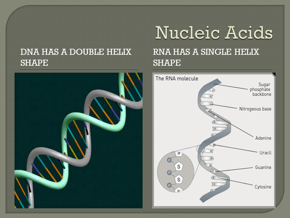 Nucleic Acids DNA has a double helix shape