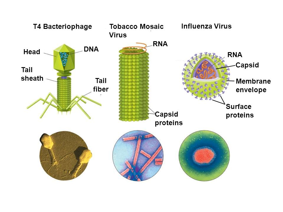 T4 Bacteriophage Tobacco Mosaic Virus Influenza Virus RNA DNA Head RNA