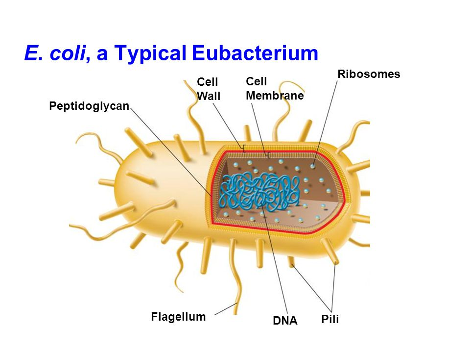 E. coli, a Typical Eubacterium