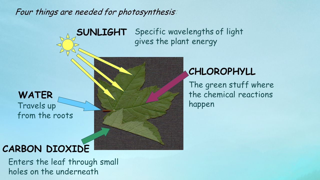 SUNLIGHT CHLOROPHYLL WATER CARBON DIOXIDE