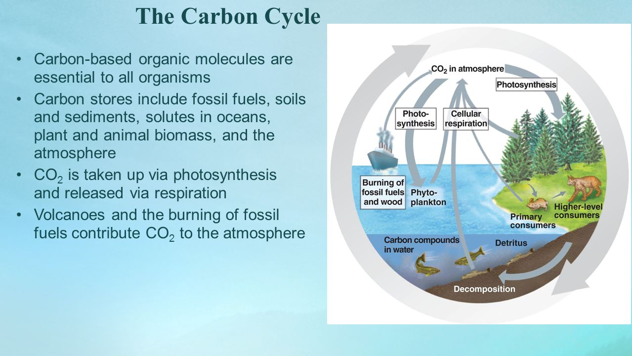 The Carbon Cycle Carbon-based organic molecules are essential to all organisms.