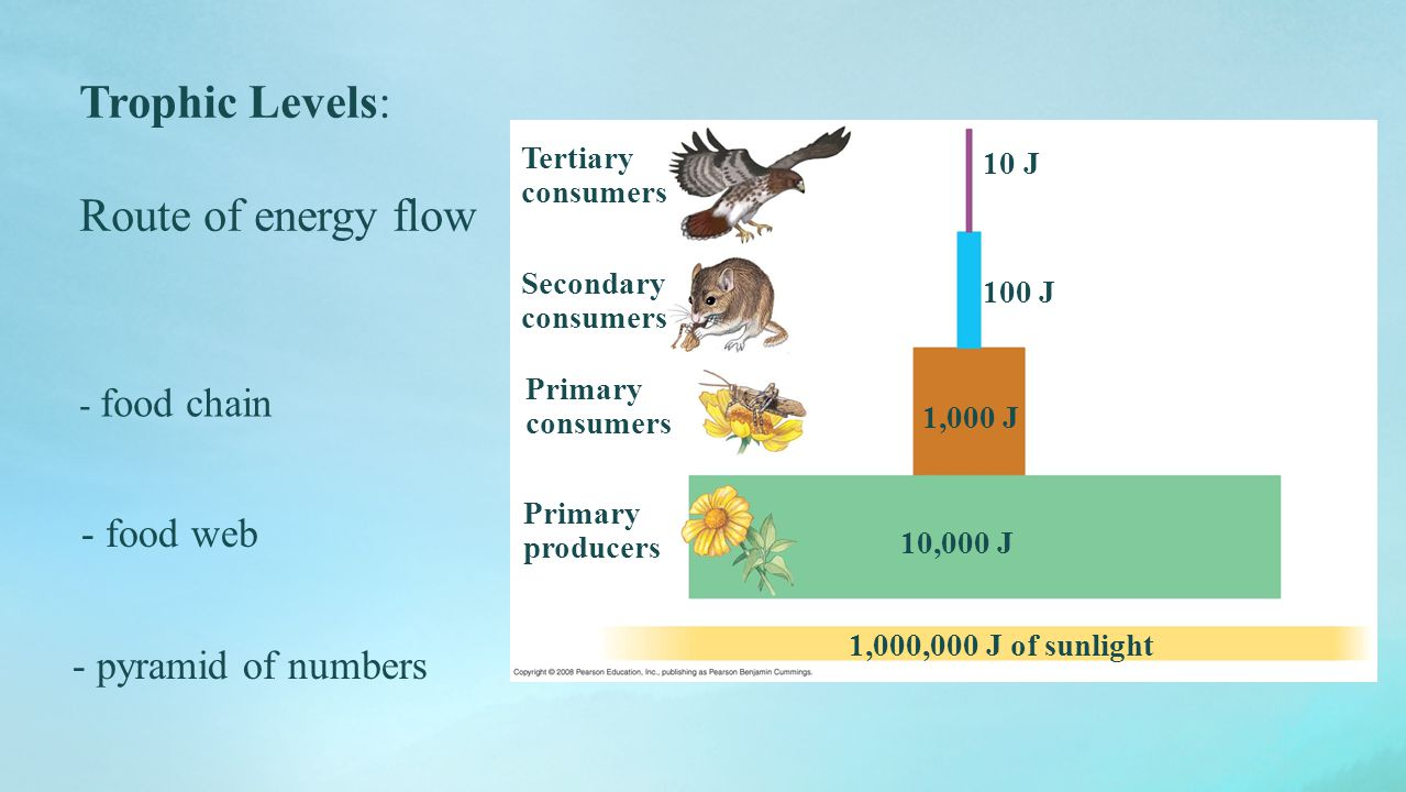 Trophic Levels: Route of energy flow food web - pyramid of numbers