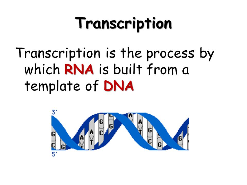 Transcription Transcription is the process by which RNA is built from a template of DNA