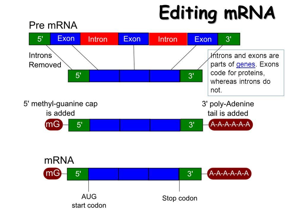 Editing mRNA Introns and exons are parts of genes. Exons code for proteins, whereas introns do not.