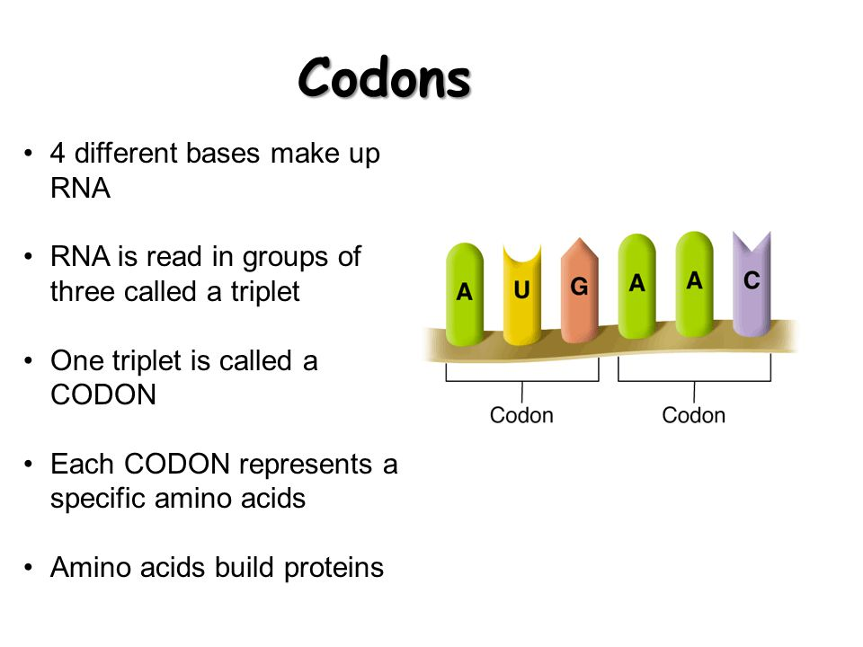 Codons 4 different bases make up RNA
