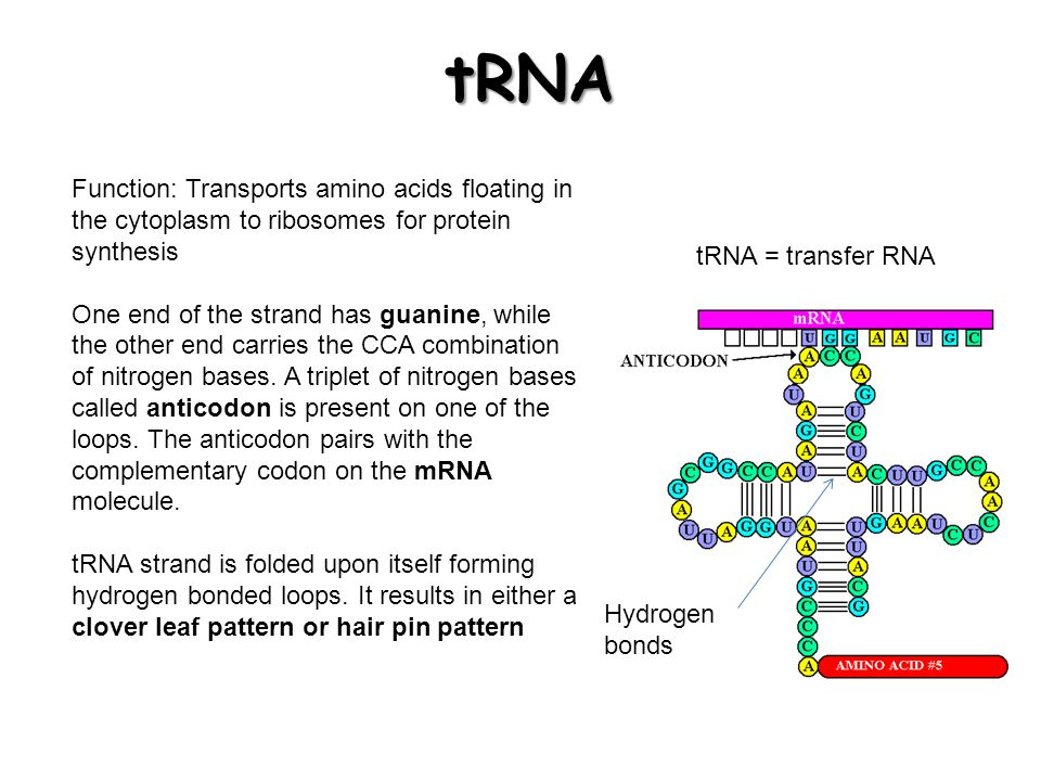 The role of mrna in protein synthesis