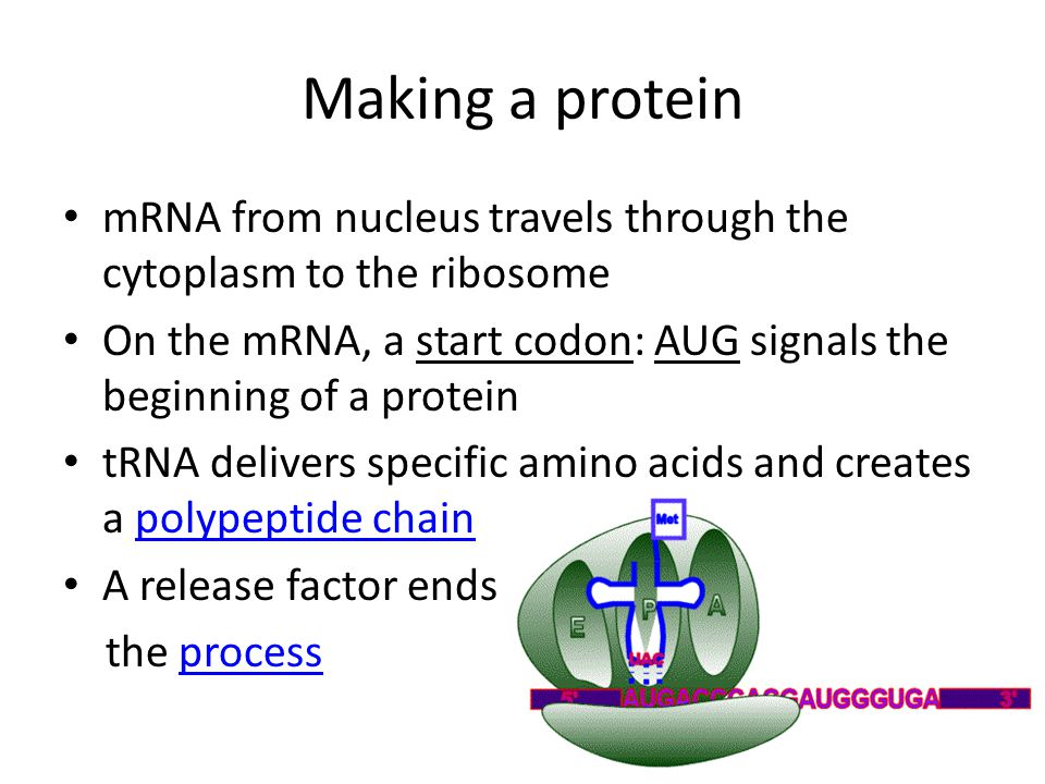 Making a protein mRNA from nucleus travels through the cytoplasm to the ribosome.