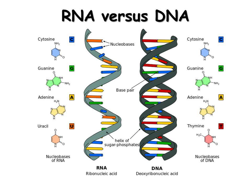 RNA versus DNA