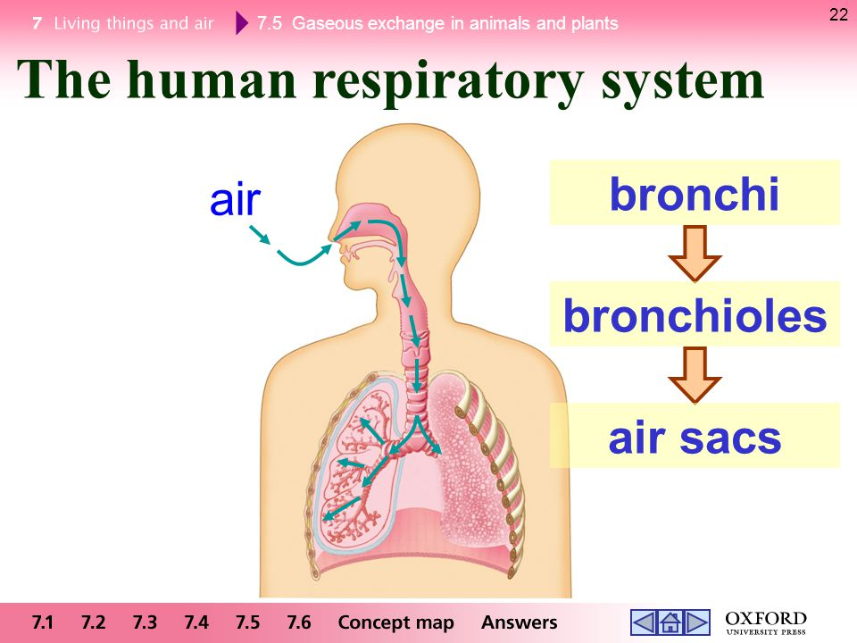 The human respiratory system