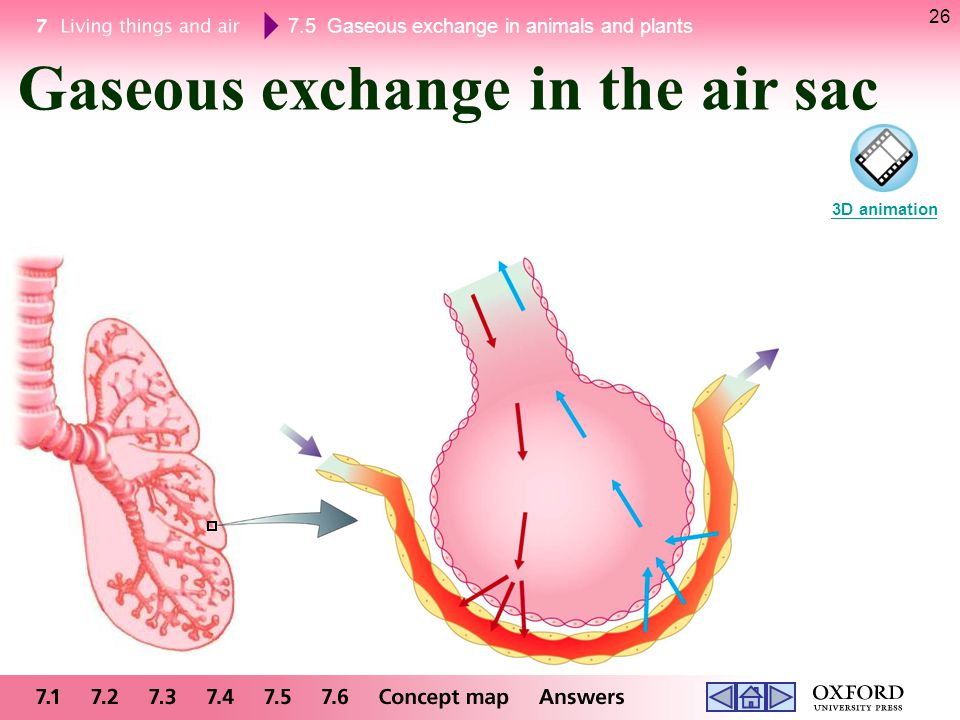 Gaseous exchange in the air sac