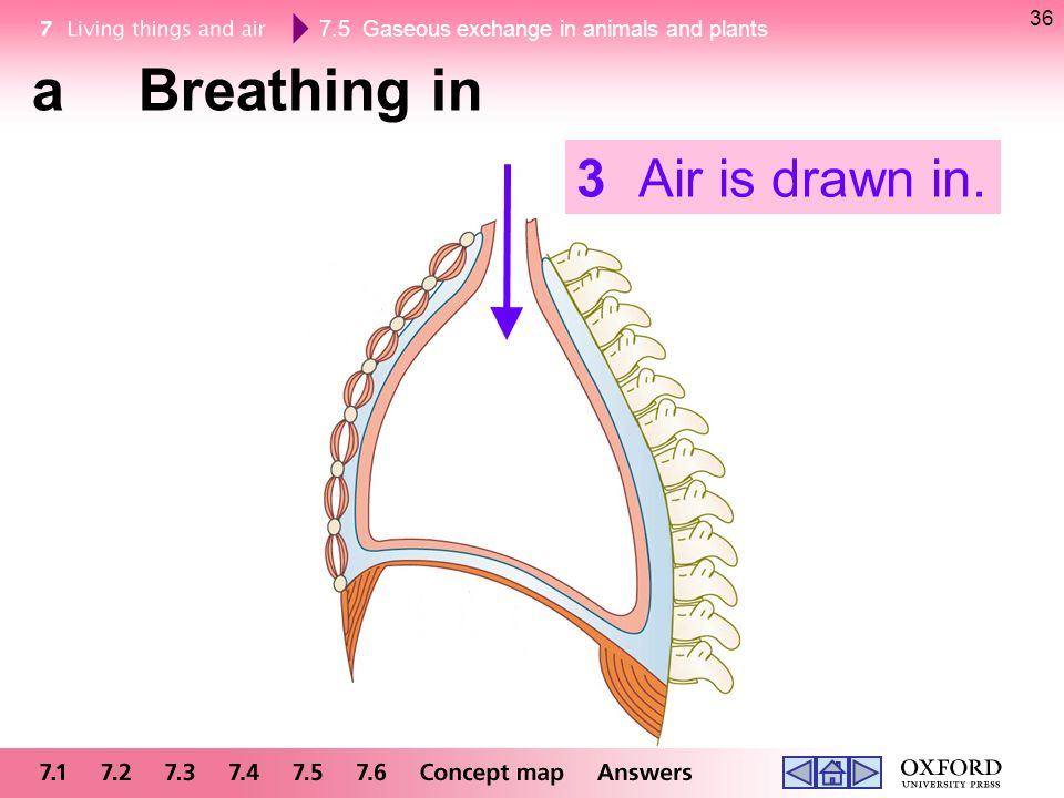 36 a Breathing in 3 Air is drawn in.