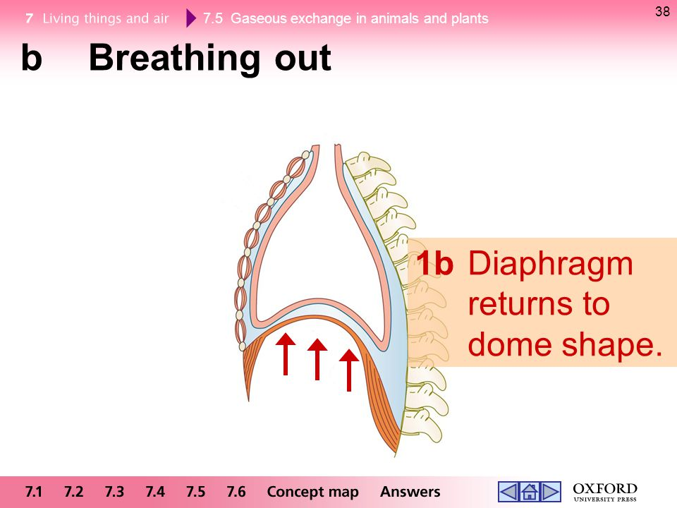 38 b Breathing out 1b Diaphragm returns to dome shape.