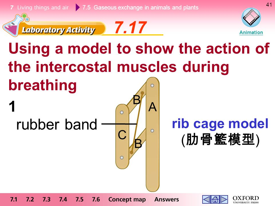 7.17 Animation. Using a model to show the action of the intercostal muscles during breathing. B. 1.