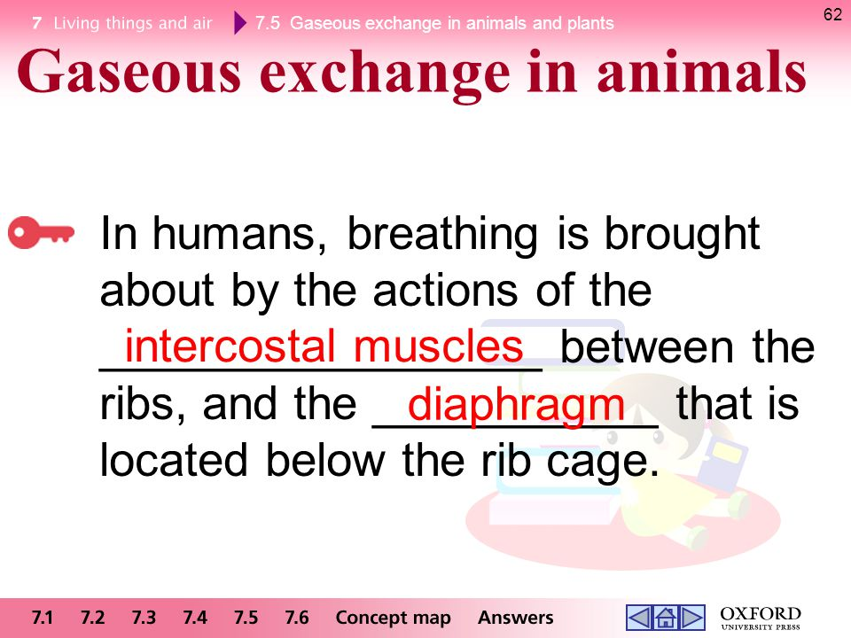 Gaseous exchange in animals