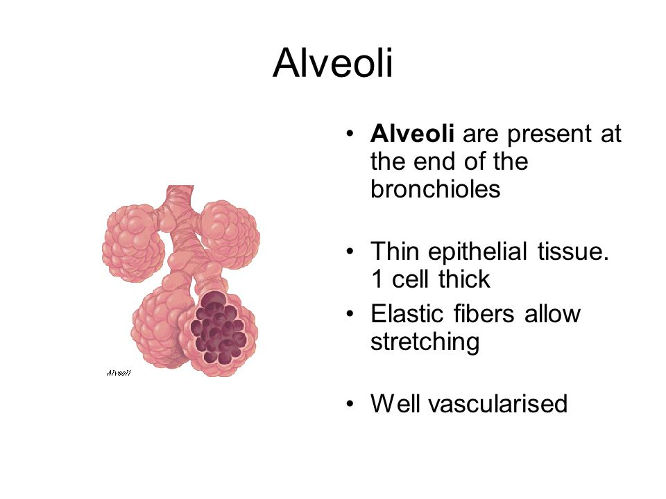 Alveoli Alveoli are present at the end of the bronchioles