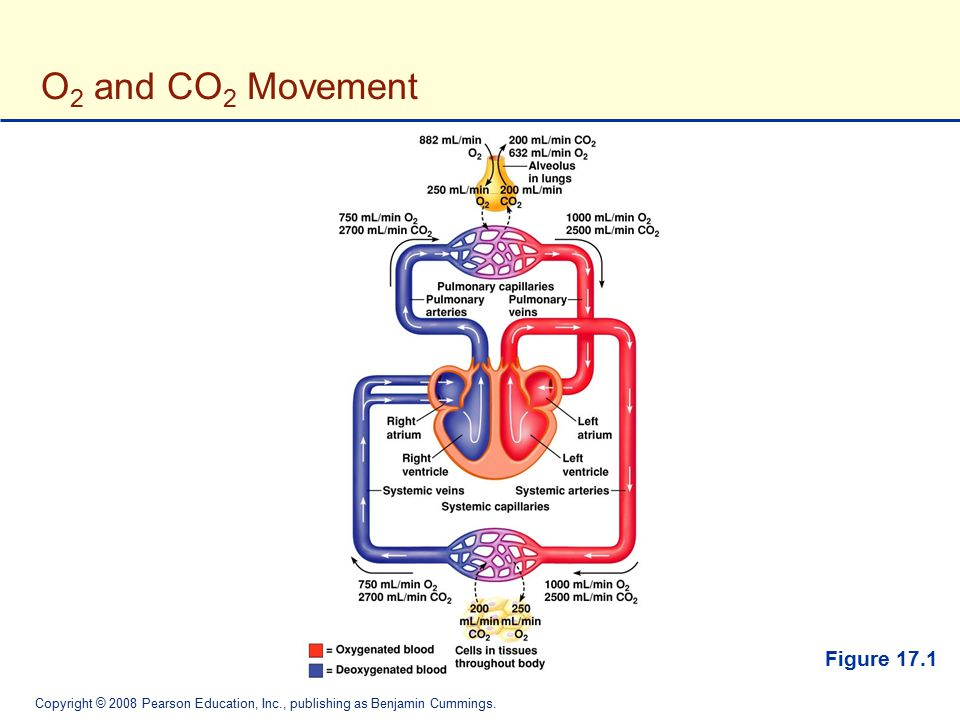 O2 and CO2 Movement Figure 17.1