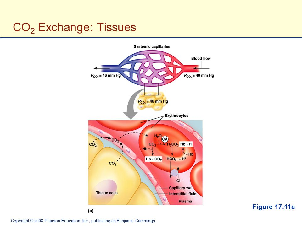 CO2 Exchange: Tissues Figure 17.11a