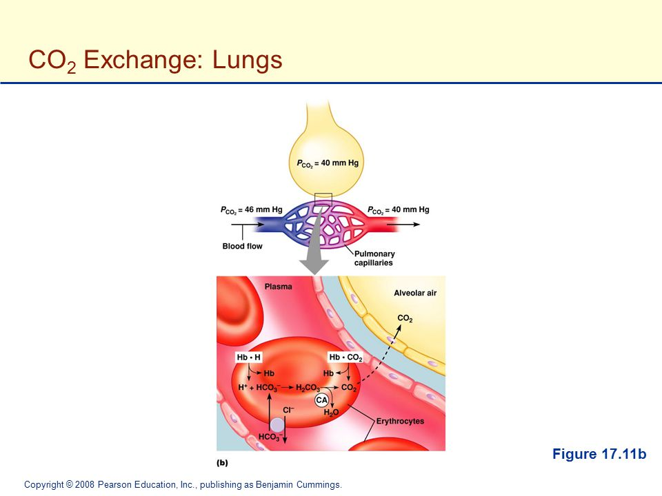 CO2 Exchange: Lungs Figure 17.11b