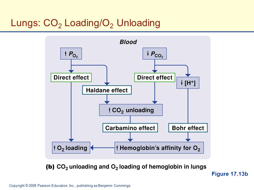 Lungs: CO2 Loading/O2 Unloading