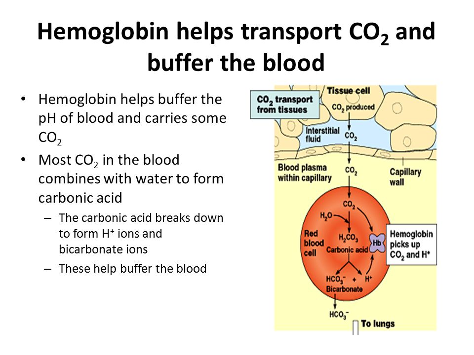 Hemoglobin helps transport CO2 and buffer the blood