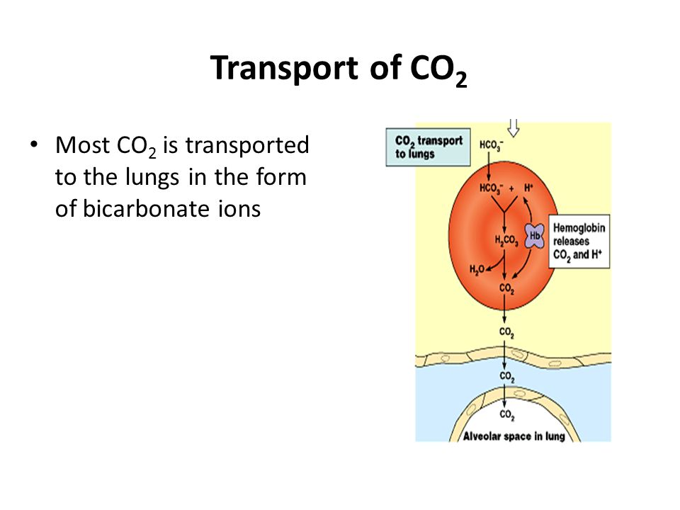 Transport of CO2 Most CO2 is transported to the lungs in the form of bicarbonate ions