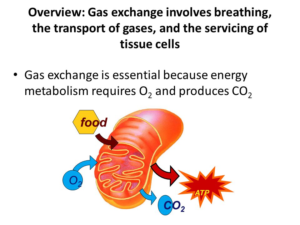 Overview: Gas exchange involves breathing, the transport of gases, and the servicing of tissue cells