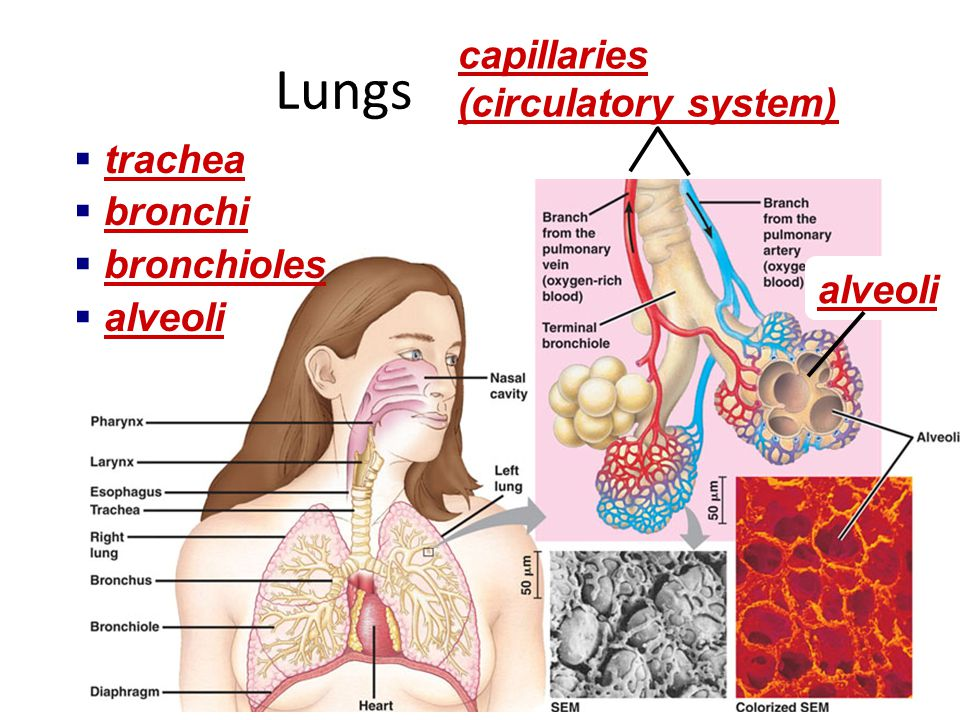 Lungs capillaries (circulatory system) trachea bronchi bronchioles